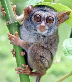 A bug-eyed little Rondo Dwarf Galago.