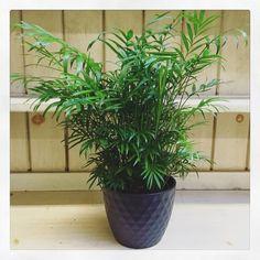 Neanthe Bella Palm (Chamaedorea elegans)