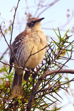 Galapagos Birds: The islands' most aggressive (and noisy) species, the Galapagos Mockingbird.