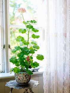 My mom gave me a Geranium like this but with no flowers.  Still have it in our house at school. Really easy to take care of and fun to watch grow.