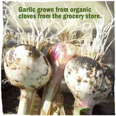 How To Grow Garlic from the Grocery Store, Farmers Market or Certified Seed Spanish Garden, Home Grown Vegetables, Grow Garlic, Grocery Store, Farmers Market, Agriculture, Garden Landscaping, Seeds, Organic