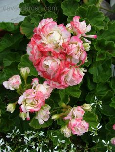 Appleblossom Rosebud Geranium bloom with Diamond Frost Euphorbia