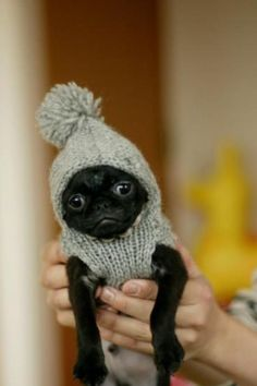 Baby black pug in knit hat ... Love!