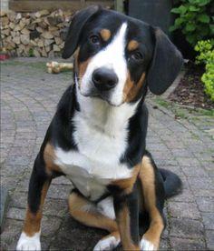 Doge, Pitbulls, Animals, Animales, Pit Bulls, Animaux, Pitbull, Animal, Animais