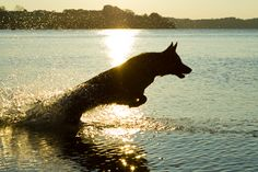 german shepherd swimming, mom look u could take photographs like this!!!! And I could have a dog that swims with me!!!!