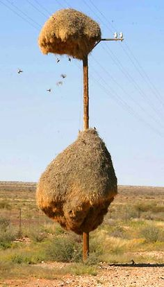 Social weavers are small birds that live in communes, building joint nests (Posted by Dusky Pierce)