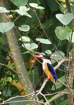 Blacked-capped Kingfisher, Halcyon pileata