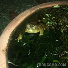 Thar be toads afloat in me #water garden. #chongolio