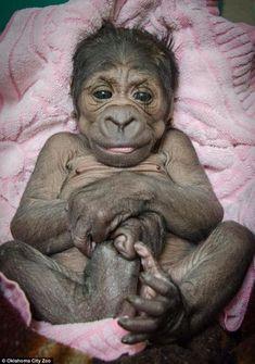 Howdy there I'm so pleased to be alive! Baby Gorilla Born at Oklahoma City Zoo