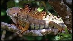 Costa Rica, Amphibians and Reptiles Colorful Lizards, Large Lizards, Rainforest Animals, Nature Animals, Reptiles And Amphibians, Mammals, Lizard Species, Green Iguana, Tropical Animals