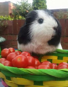 Oh look, what I found! :) #guineapigs #pets