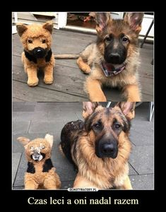 Mem z okazji Dnia Psa Animals And Pets, Cute Animals, Polish Memes, Funny Memes, Jokes, Rest Of The World, Haha, Corgi, Nostalgia