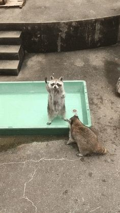 Hey, what about me? Funny raccoon gif