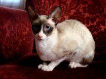 Gato doméstico Cornish Rex
