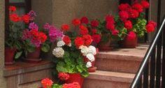 Como cultivar gerânios | Jardim das Ideias STIHL - Dicas de jardinagem e paisagismo
