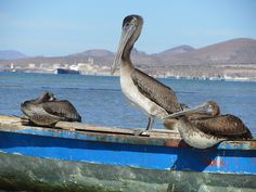 Pelicans at La Paz, BCS, Mexico.