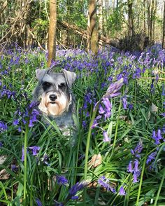"""384 Likes, 15 Comments - Hector Pickleton (@hectorpickleton) on Instagram: """"If you go down to the woods this weekend... you might find a schnauzer amongst the bluebells! …"""""""