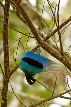 Blue-Bird-Of-Paradise (Blauwe paradijsvogel)