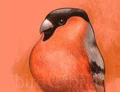 Bullfinch, Natural World, I Shop, Colour, Shit Happens, Bird, Pop, Twitter, Color