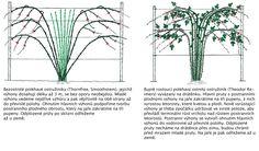 Ostružiny, lahodné lesní ovoce, můžeme pěstovat i na zahradě. Existuje celá řada výnosných odrůd, které lze pěstovat na opoře i volně. Aby stále dobře plodily a odolávaly chorobám, potřebují však ostružiníky důkladný a pravidelný řez. Health, Flowers, Plants, Outdoors, Gardening, Google, Health Care, Lawn And Garden, Plant