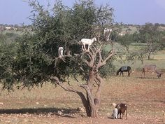 Goats on the Argan tree -