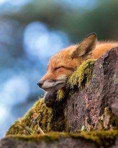 Red Fox by soosseli - Ossi Saarinen Forest Animals, Nature Animals, Animals And Pets, Funny Animals, Beautiful Creatures, Animals Beautiful, Fox Pictures, Tier Fotos, Cute Little Animals