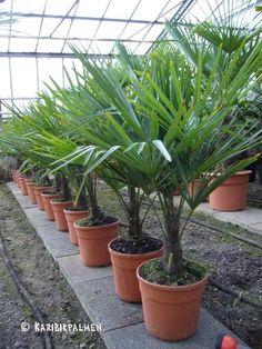 Trachycarpus fortunei - Hanfpalme 80-100cm - Winterhart -18°C in Garten & Terrasse, Pflanzen, Sämereien & Zwiebeln, Pflanzen, Bäume & Sträucher | eBay