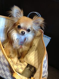 Chihuahua's, they are always up for a trip!(I want one of these)