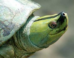Myanmar River Turtle