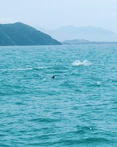 Our last adventure in New Zealand was swimming with the acrobatic Dusky dolphins in their natural habitat and it was AMAZING! Honeymoon Destinations All Inclusive, Sea World, Dolphins, Habitats, New Zealand, Swimming, Adventure, Natural, Amazing