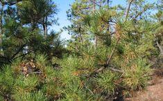 Ontario Trees and Shrubs - Pine Trees identification Tree Identification, Trees And Shrubs, Pine Tree, Natural History, Bonsai, Ontario, New Homes, Yard, Hamilton