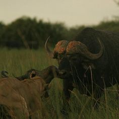 """From the Instagram of drsteveboyes: """"The last goodbye as a big bull #buffalo touches noses with an old cow that couldnt keep up with the herd anymore and was taken down by a pride of lions. He tried to defend her but was soon overwhelmed #wilderness @intotheokavango #okavango16"""""""