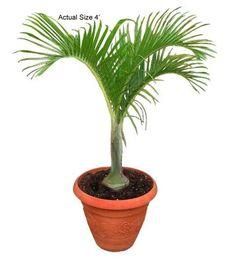 Ideas For Real Palm Tree Decoration Palm Tree Fruit, Palm Tree Flowers, Indoor Palm Trees, Indoor Palms, Small Palm Trees, Small Palms, Palm Tree Leaves, Metal Christmas Tree Stand, Christmas Palm Tree