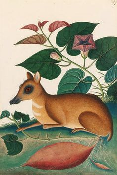 unknown artist - larger malayan mouse deer beneath a convolvulus, 1810-20