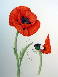 Hunt Institute of Botanical Illustration, Pittsburgh, USA Kew Garden Archives Royal Horticulture Society Lindley Library UK Guild of Master Craftsman Publications Chelsea Physic Garden. Watercolor Poppies, Red Poppies, California Poppy Drawing, Red Poppy Tattoo, Ceramic Poppies, Scientific Drawing, Poppies Tattoo, Flower Sleeve, Beginner Painting