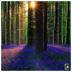 "Pritha Ghosh on Instagram: ""💙Blue Forest of Belgium💙 🍃Hallerbos forest or Halle"