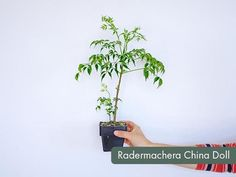 Randmachera China Doll China Dolls, Plant Species, Herbs, Plants, Herb, Planters, Plant, Spice, Planting