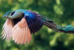 Encantadoras imágenes de pavos reales en pleno vuelo