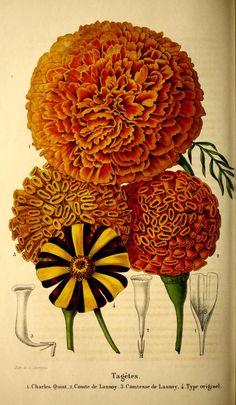 1851 botanical illustration