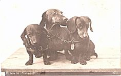 1907 Real Photo Dachshund Dogs Postcard. Click on the image for more information.