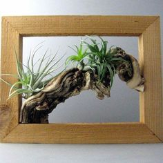 gorgeous artistic air plants decoration ideas wooden picture frame driftwood