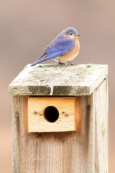 Eastern Bluebird are quite fond of nesting boxes