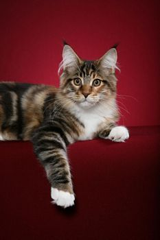 Visit Chemicoons #Maine_Coons website www.absolutelycats.com/23MaineCoon6.html #cats #kittens #pets #animals #Illinois