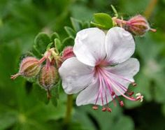 Geranium 'Biokovo': 2016's Perennial of the Year is a plant worth growing. A beautiful, well-behaved ground cover.