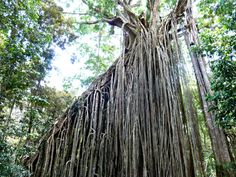 Print of Curtain fig, a huge high strangling parasite in forest near Yungaburra Tree Curtains, Atherton Tablelands, Australian Plants, Australian Flowers, European Map, Nature Tree, Fig Tree, Photo Tree, Poster Size Prints