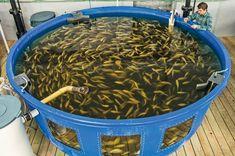 AQUAPONIC-FISH-FARMER.jpg (832×552) #hydroponicseasy #HydroponicsGardening