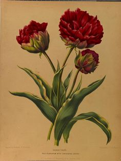 Paeonia, Album van Eeden, 1872. Biodiversity Heritage Library