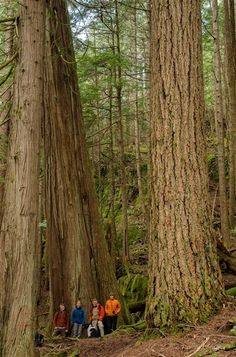 Old-Growth Douglas Fir and Cedar, Sonora Island - Great Bear Rainforest (photo: Camille Eriksson