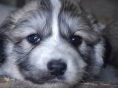 Russian Caucasian Mountain Dog Puppy Search Pictures Photos