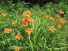 Edible Wild Plants | Wild Edible Plant Spotlight - Daylilly
